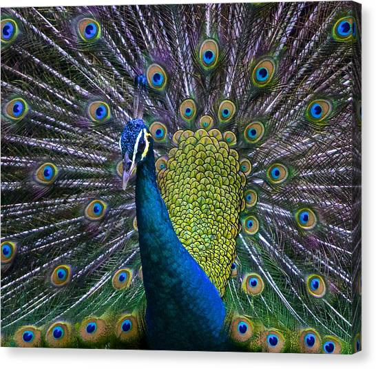 Portrait Of A Peacock Canvas Print
