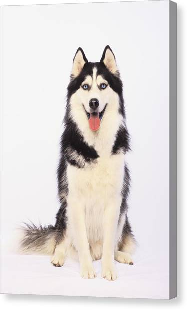 Thomas The Train Canvas Print - Portrait Of A Siberian Huskybritish by Thomas Kitchin & Victoria Hurst
