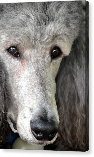 Portrait Of A Silver Poodle Canvas Print