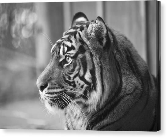 Portrait Of A Sumatran Tiger Canvas Print