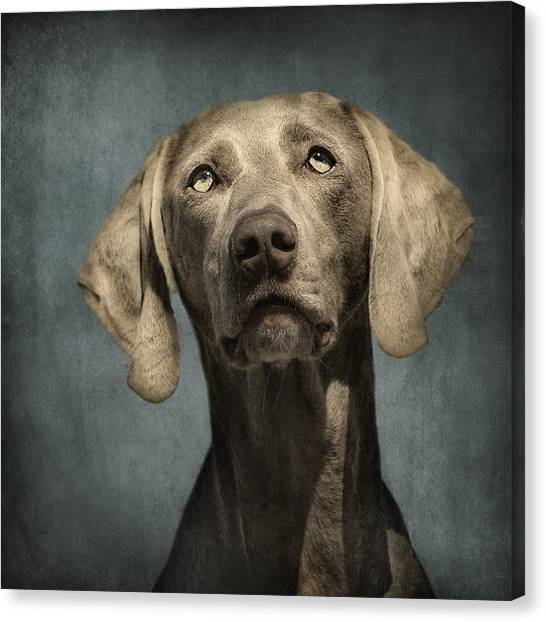 Dog Canvas Print - Portrait Of A Weimaraner Dog by Wolf Shadow  Photography
