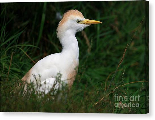 Portrait Of A White Egret Canvas Print