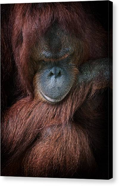Portrait Of An Orangutan Canvas Print by Zoe Ferrie