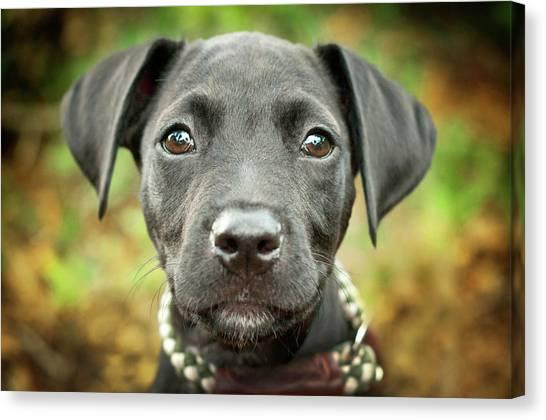 Portrait Of Black Lab Puppy Canvas Print by Hillary Kladke