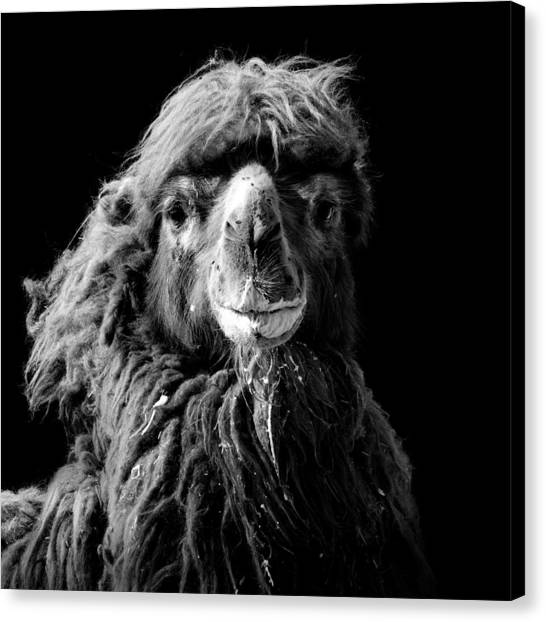 Zoo Canvas Print - Portrait Of Camel In Black And White by Lukas Holas