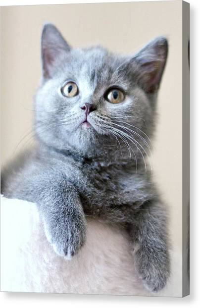 Portrait Of Cute Cat Canvas Print by Ozcan Malkocer