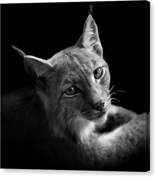 Zoo Canvas Print - Portrait Of Lynx In Black And White II by Lukas Holas