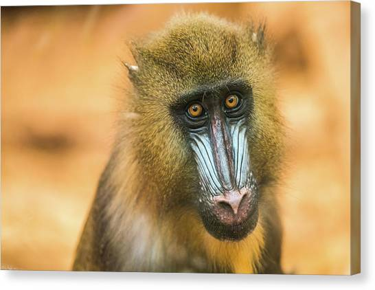 Portrait Of Mandrillus Sphinx Primate Canvas Print by James Farley