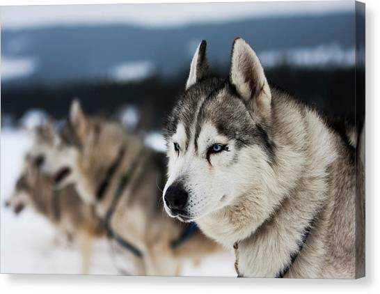 Huskies Canvas Print - Portrait Of Siberian Husky Sled Dogs by Adam Kokot