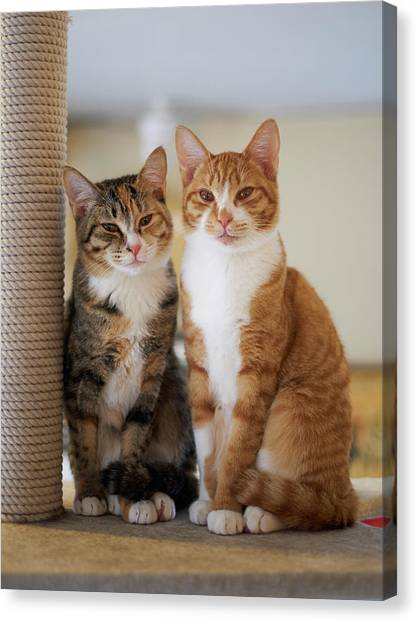Portrait Of Two Young Cats Canvas Print by Akimasa Harada