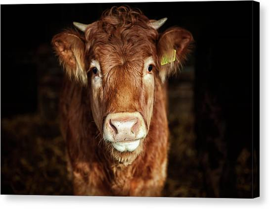 Portrait Of Young Cow Canvas Print by T-lorien
