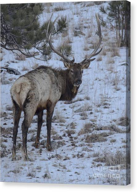 Elk Bull In Wind Cave National Park Canvas Print