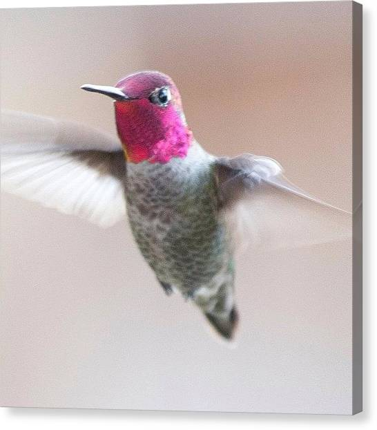 Hummingbirds Canvas Print - Posing For Me :) #birdfreaks by Patty Warwick