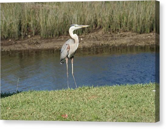 Posing Heron Canvas Print
