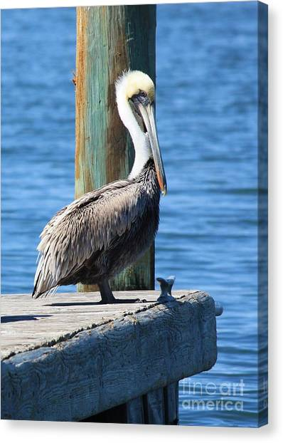 Florida Wildlife Canvas Print - Posing Pelican by Carol Groenen