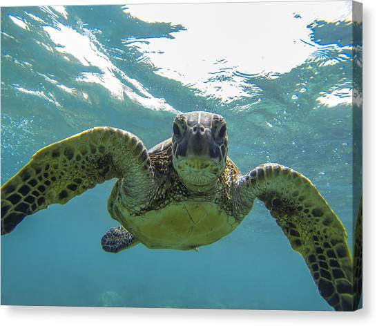 Posing Sea Turtle Canvas Print