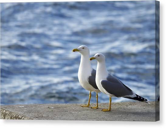 Posing Seagulls Canvas Print