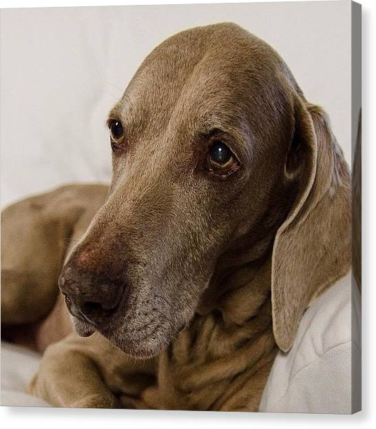 Weimaraners Canvas Print - Posting A Few Of @anotherpuffyshirt by Bridget Reyes