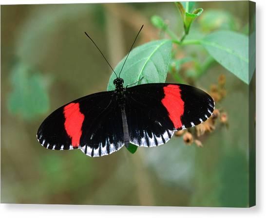 Postman Butterfly Canvas Print by Nigel Downer