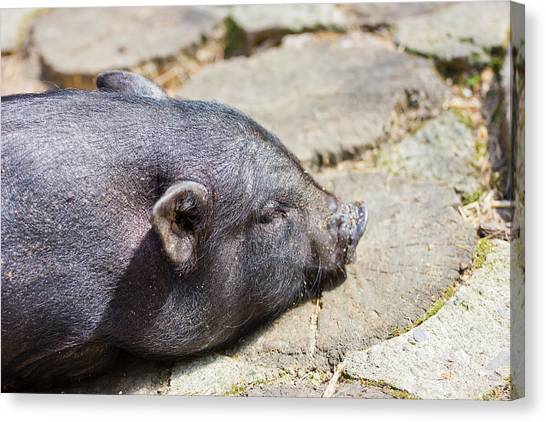 Pig Farms Canvas Print - Potbelly Pig by Pati Photography