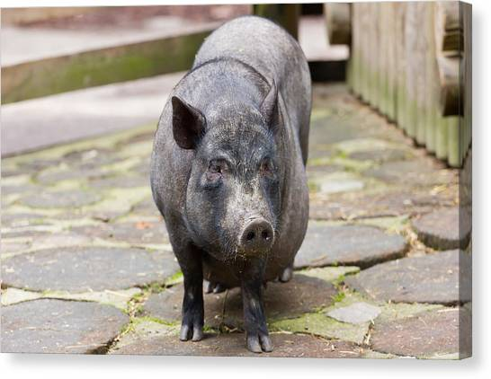 Pig Farms Canvas Print - Potbelly Pig Standing by Pati Photography