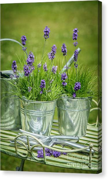 Garden Canvas Print - Pots Of Lavender by Amanda Elwell