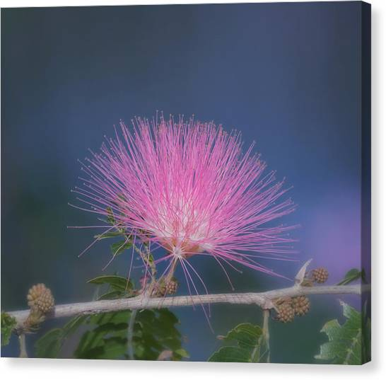 Mimosa Canvas Print - Powder Puff Blossom by Kim Hojnacki