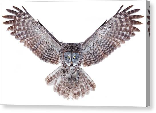 Winged Canvas Print - Power - Great Grey Owl by Jim Cumming