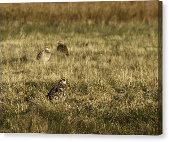 Matting Canvas Print - Prairie Chickens After The Boom by Thomas Young