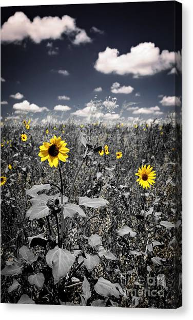 Saskatchewan Canvas Print - Prairie Sunflowers  by Elena Elisseeva