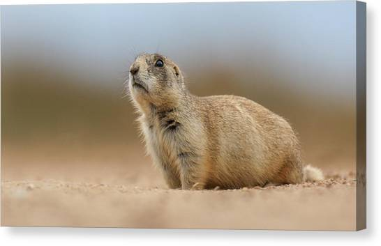 Prarie Dog  Canvas Print