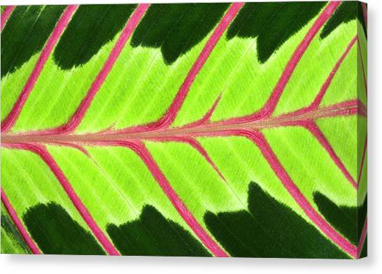Prayer Plant Leaf Abstract Canvas Print by Nigel Downer