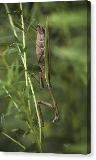 Praying Mantis 001 Canvas Print