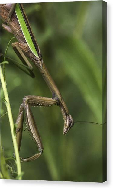 Praying Mantis 002 Canvas Print