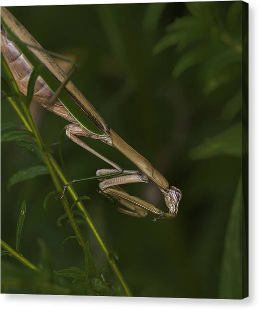 Praying Mantis 003 Canvas Print