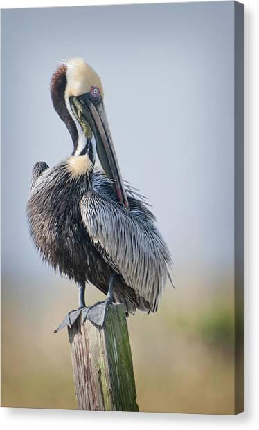 Preening Pelican Canvas Print by Bonnie Barry