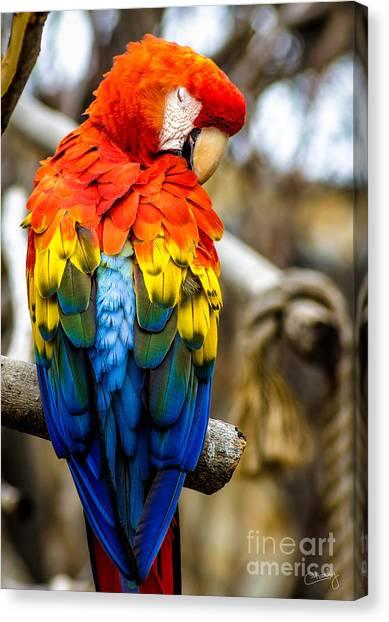 Preening Scarlet Macaw Canvas Print