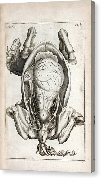 Pregnant Horse Anatomy Canvas Print by National Library Of Medicine