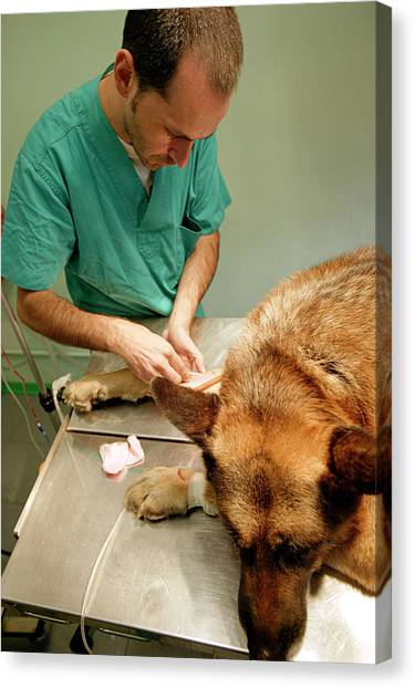 German Shepherds Canvas Print - Preparing A Dog For Surgery by Mauro Fermariello/science Photo Library