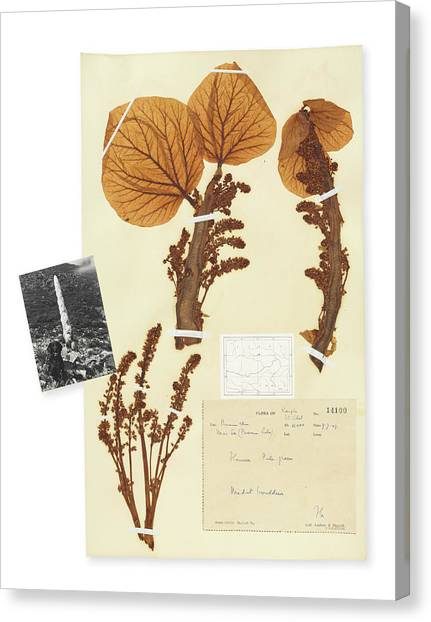 Himalayas Canvas Print - Pressed Sikkim Rhubarb (rheum Nobile) by Natural History Museum, London/science Photo Library