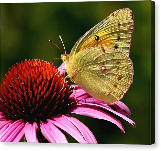 Pretty As A Butterfly Canvas Print