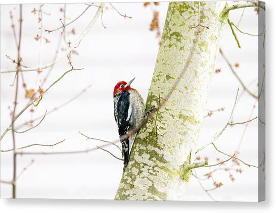 Woodpeckers Canvas Print - Pretty Bird by Rebecca Cozart