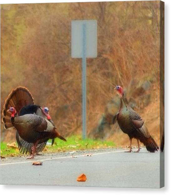 Turkeys Canvas Print - Pretty Brave Of Them To Be Standing Out by Joann Vitali