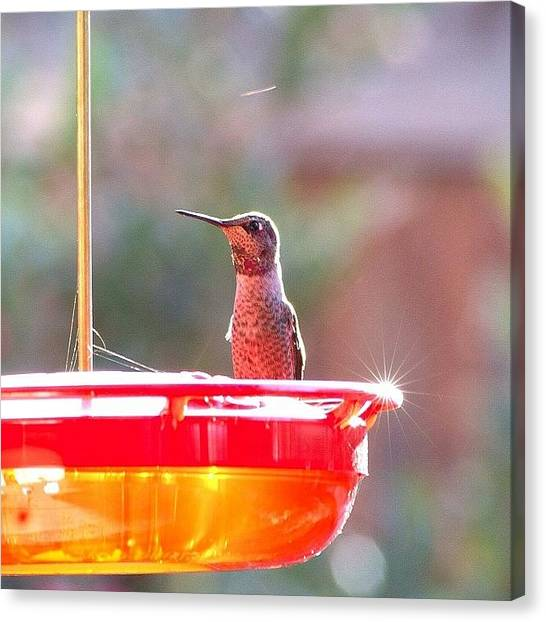 Hummingbirds Canvas Print - Pretty Female.  #ig_nature #birdfreaks by Patty Warwick