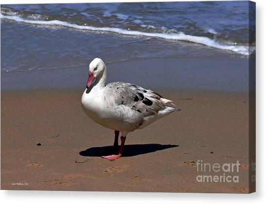 Pretty Duck Posing On Monterey Beach Canvas Print