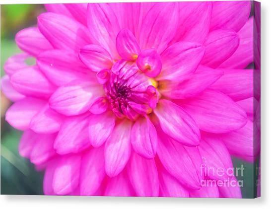 Pretty In Pink Dahlia Canvas Print
