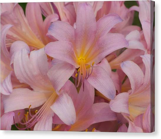 Pretty In Pink Canvas Print by Virginia Forbes
