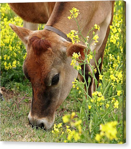 Pretty Jersey Cow Square Canvas Print