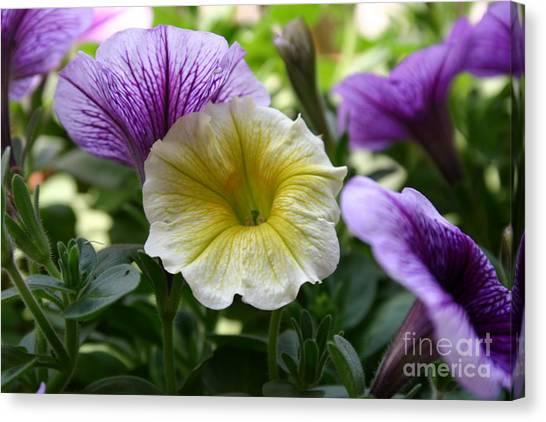 Pretty Yellow And Purple Petunias Canvas Print