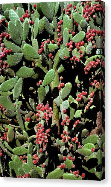 Prickly Pear Cactus Canvas Print by Dr Jeremy Burgess/science Photo Library